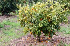 Free Fruit Tree Royalty Free Stock Photography - 17604037