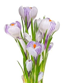 Free Bouquet Of Crocuses – First Spring Flowers Royalty Free Stock Image - 17604456