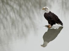 Free Bald Eagle (Haliaeetus Leucocephalus) Royalty Free Stock Image - 17605906