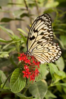 Free Paper Kite Butterfly (Idea Leuconoe) Stock Images - 17606094