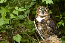 Free Great Horned Owl (Bubo Virginianus) Stock Photo - 17606100