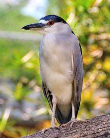 Free Black Crowned Night Heron Stock Photo - 17606160
