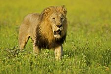 Free Male Lion Stock Image - 17606741
