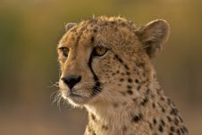 Free Cheetah Portrait Stock Photography - 17607452