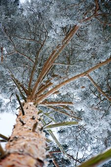 Free Pine Covered By A Snow Stock Images - 17607454