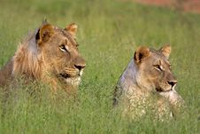 Free Male And Female Lion Stock Images - 17607464