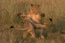 Free Lion Cubs Playing Stock Photo - 17607510