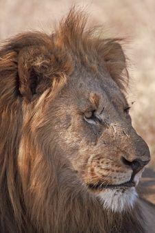 Free Portrait Of Male Lion Stock Photos - 17607563