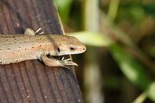 Common Lizard Stock Image