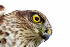 Free Birds Of Europe - Sparrow-hawk Royalty Free Stock Photos - 17609198