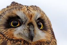 Free Short-eared Owl Royalty Free Stock Image - 17609206