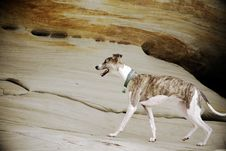 Whippet Exploring Sandstone Cliff Stock Images