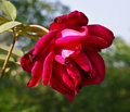 Free A Beautiful Red Rose Royalty Free Stock Images - 17619239