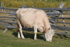 Free Cow On Pasture Stock Photos - 17610303