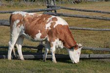 Free Cow On Pasture Royalty Free Stock Photos - 17610318