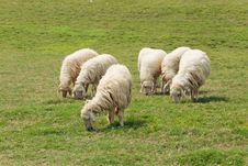 Free Six Sheep Was Eating On The Lawn Royalty Free Stock Photo - 17611335
