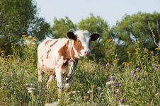 Free Young Bull Among A Grass Royalty Free Stock Photos - 17612058