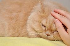 Free Persian Cat Royalty Free Stock Image - 17614736