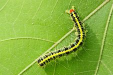 Free A Cute Caterpillar On Leaf Royalty Free Stock Image - 17615546