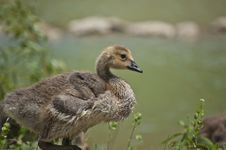 Free Canada Gosling In The Grass Royalty Free Stock Images - 17617729