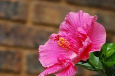Free Pink Hibiscus Royalty Free Stock Images - 17617889