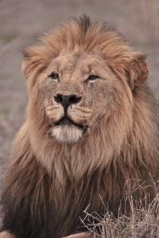 Free Kalahari Male Lion Stock Photos - 17618033