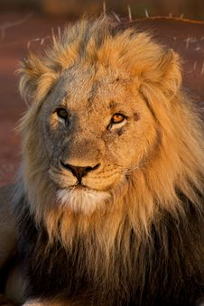 Free Kalahari Male Lion Stock Photography - 17618052
