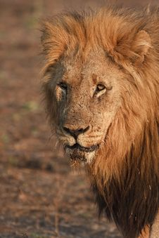 Free Kalahari Male Lion Stock Images - 17618064