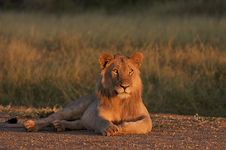 Free Kalahari Male Lion Stock Photo - 17618270