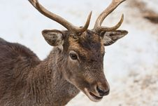 Free Deer Head Royalty Free Stock Photo - 17618495