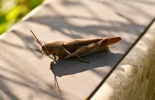 Free A Hopping Cricket Stock Photos - 17619223