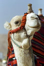 Free Head And Neck Of A Camel Royalty Free Stock Images - 17626839