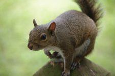 Free Grey Squirrel Close Up Royalty Free Stock Photos - 17620458