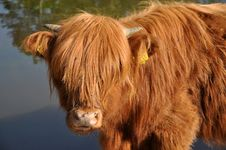 Free Scottish Highland Cow Stock Images - 17620634