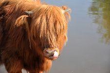 Free Scottish Hihlander With Flies Stock Photos - 17620653