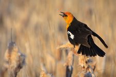Free Yellow-headed Blackbird, Montana Royalty Free Stock Photos - 17622348