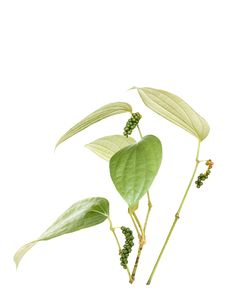 Free Peppercorn Vine Isolated Royalty Free Stock Photo - 17624035