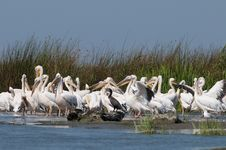 Free White Pelicans Colony Stock Images - 17624114