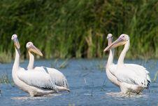 Free White Pelicans Royalty Free Stock Photos - 17624128