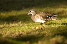 Free Mandarin Duck Female Royalty Free Stock Image - 17624146