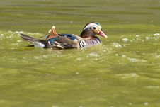 Free Mandarin Duck Drake Stock Photo - 17624150