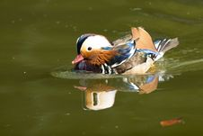 Free Mandarin Duck Drake Royalty Free Stock Photo - 17624155