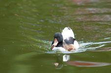 Common Shelduck On Water Stock Photos
