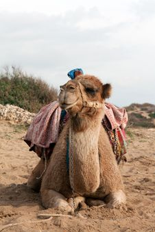 Free Camel Sits Stock Images - 17624634