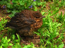 Free Nestling Of Thrush In Green Grass Stock Photography - 17625812
