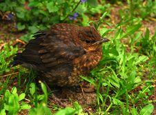 Nestling Of Thrush In Green Grass Stock Photography