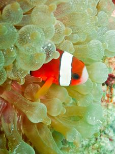 Free Clown Anemonefish Stock Photos - 17627493