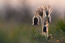 Group Of Flowers Pulsatilla Pratensis Stock Images
