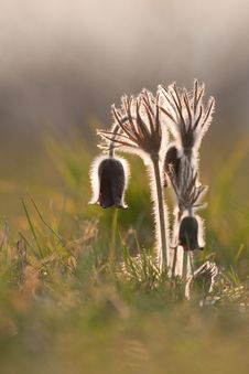 Group Of Flowers Pulsatilla Pratensis Royalty Free Stock Images