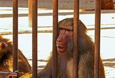 Free Baboon Sad Royalty Free Stock Photography - 17629697